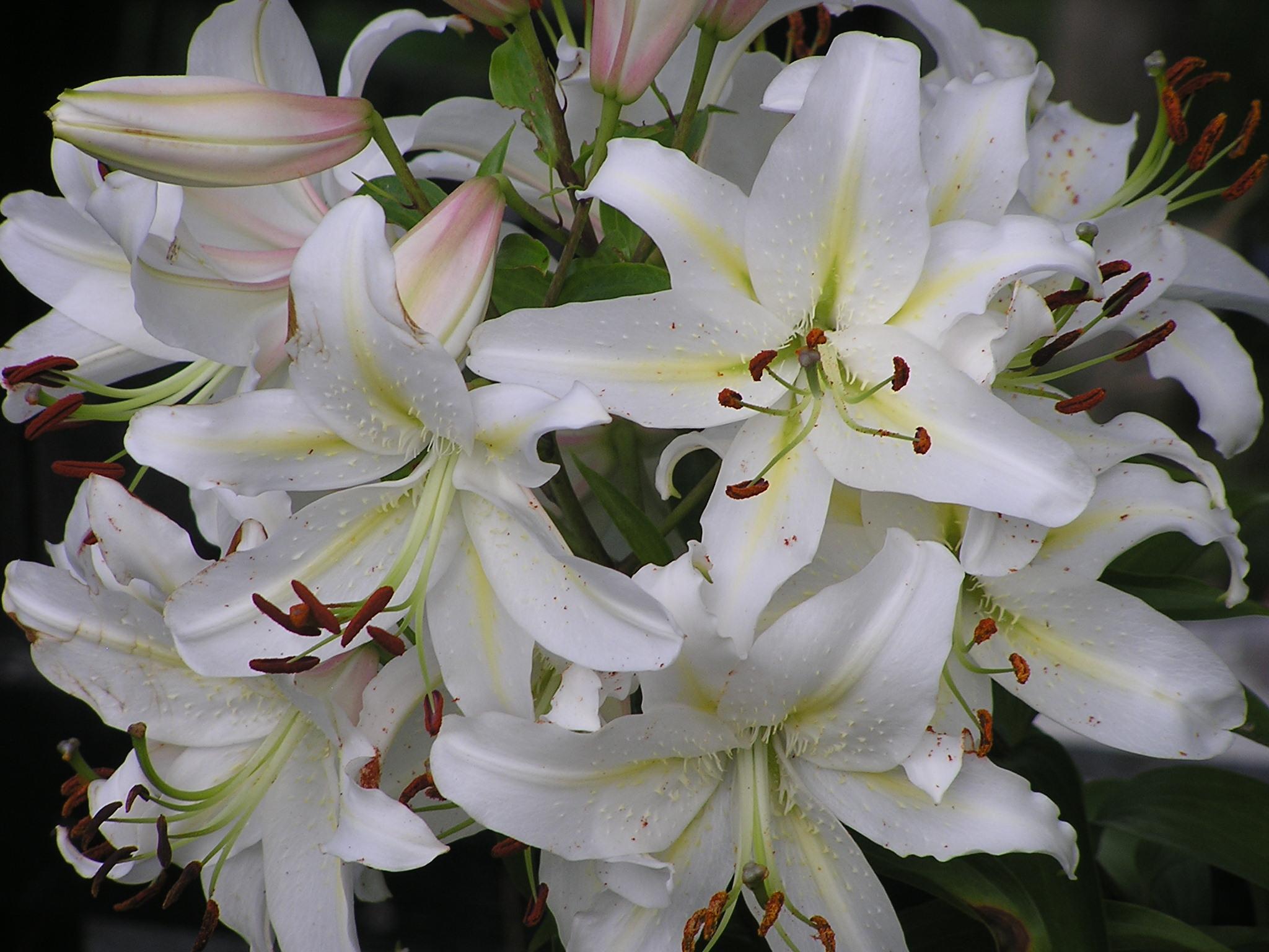 White  U201ccasablanca U201d Oriental Lilies In My Garden