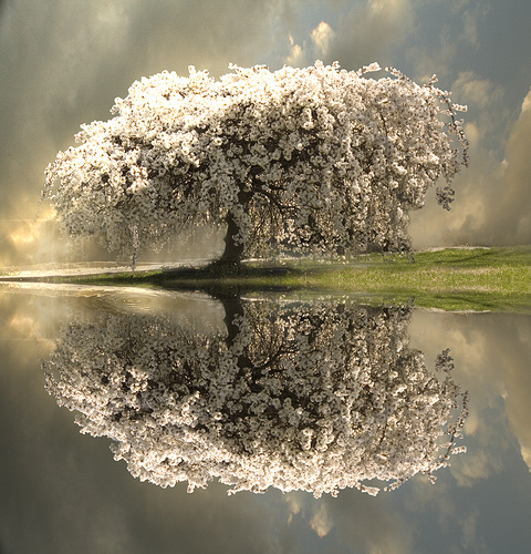 A flowering tree and its reflection
