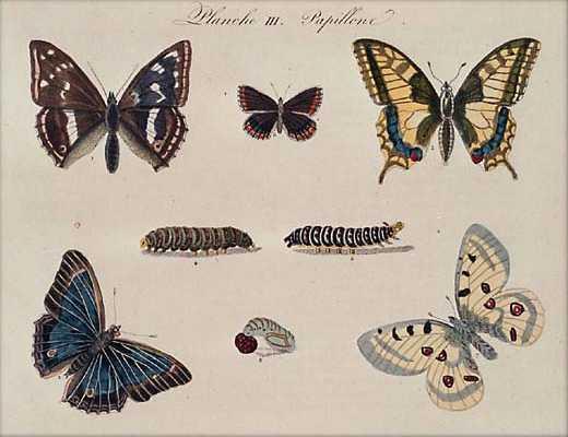 Butterflies/Papillons
