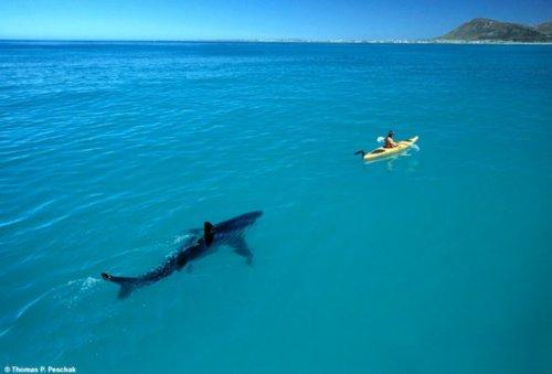shark 131
