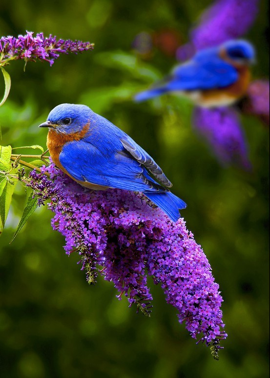 Bluebird on a Buddeliablossom