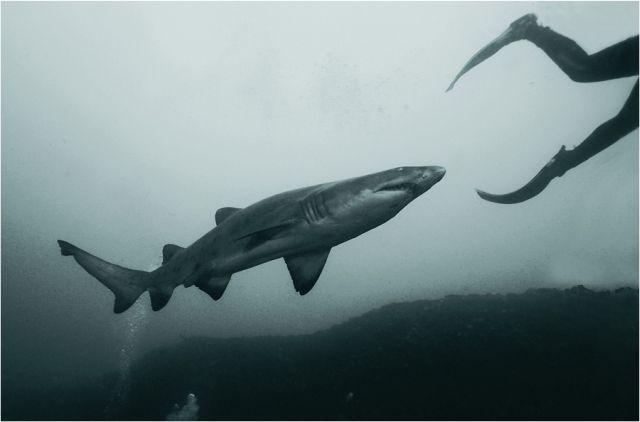 Large Thresher Shark following adiver