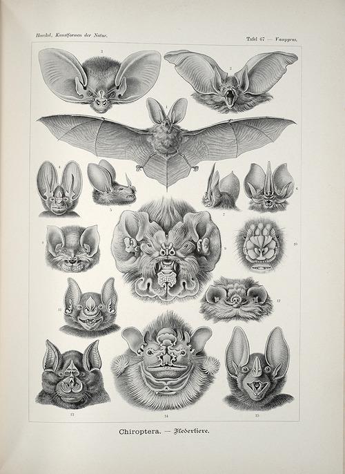 Bat/Chiroptera