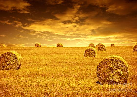 wheat-harvest-time-anna-omelchenko