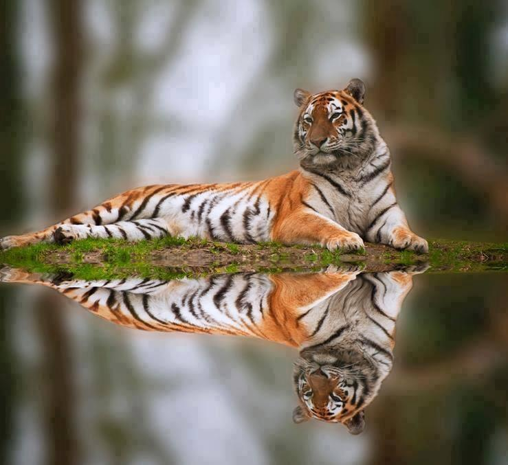 Tiger and its reflection