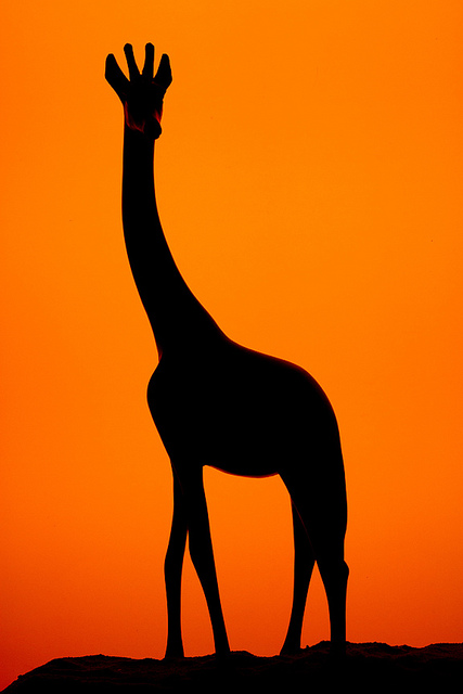 giraffe 799