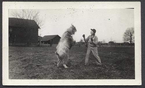 Goat fighting
