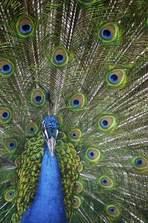 Peacock, photo by Ben Denison