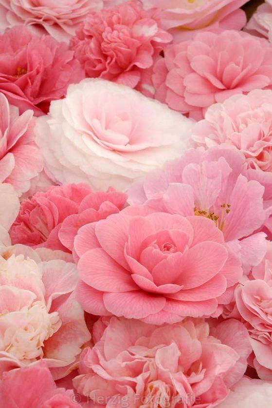 Camellia - Kamelie
