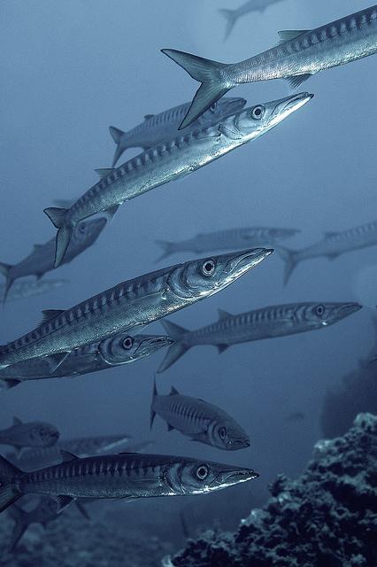fish barracuda