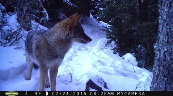 coyote island