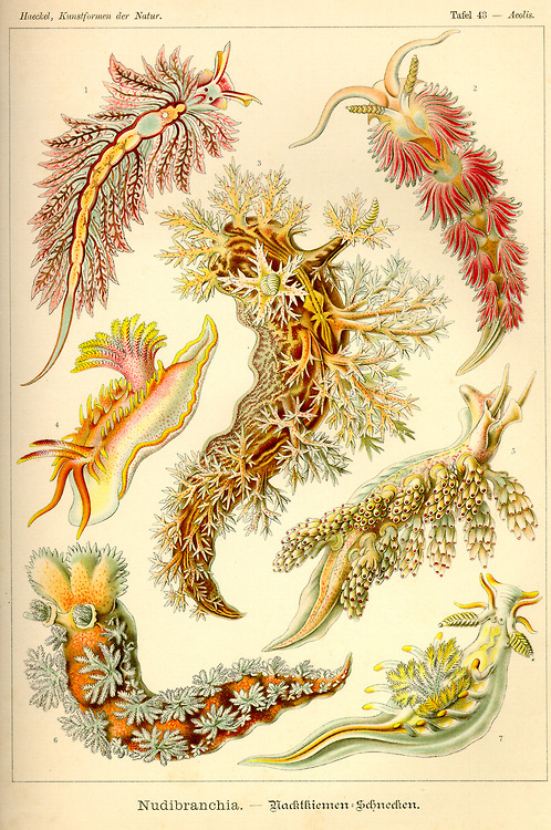 Nudibranchia (Sea critters!), by ErnstHaeckel
