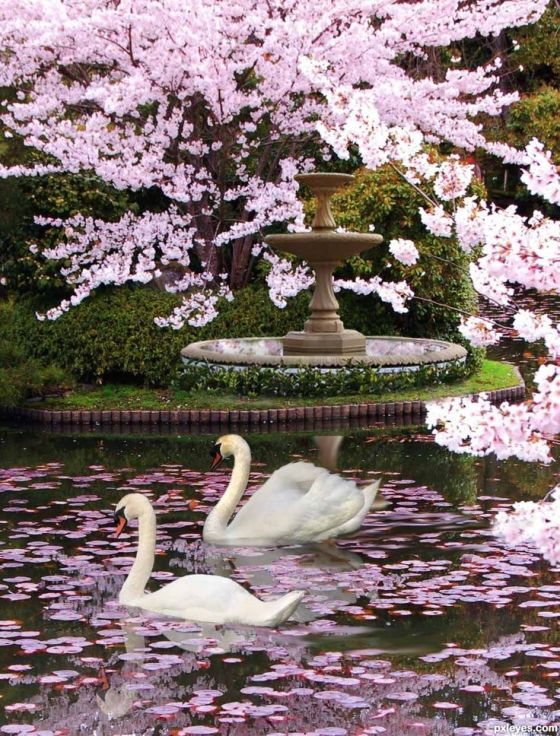 swans cherry blossoms
