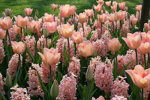 tulips 6500