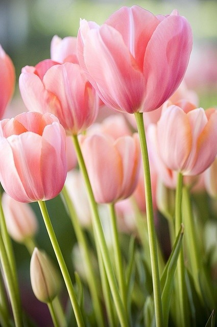 tulips 6501