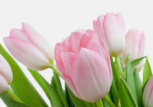 tulips pink 8