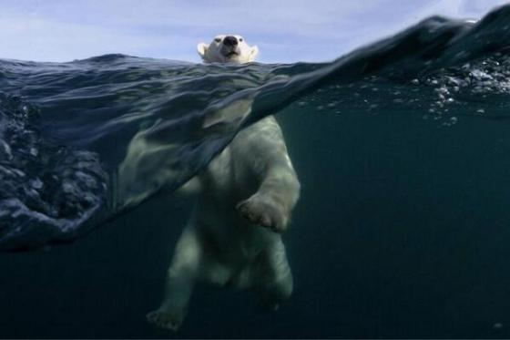 polar bear 122