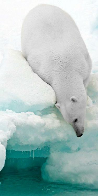 polar bear 235