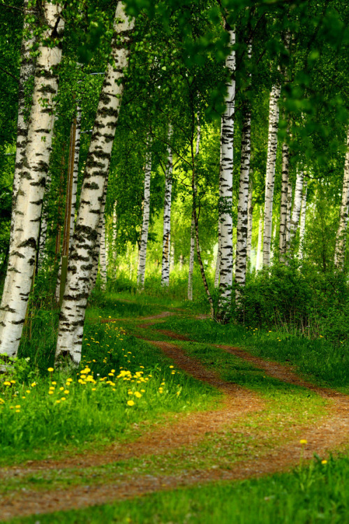 Lane through some birch trees, photo by LauraLakstedt