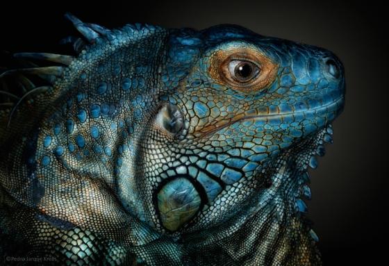 lizard-pedro-jarque-krebs