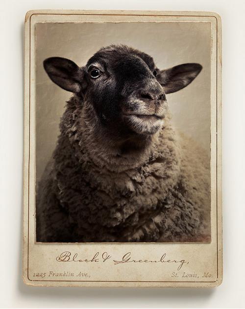 sheep-portrait