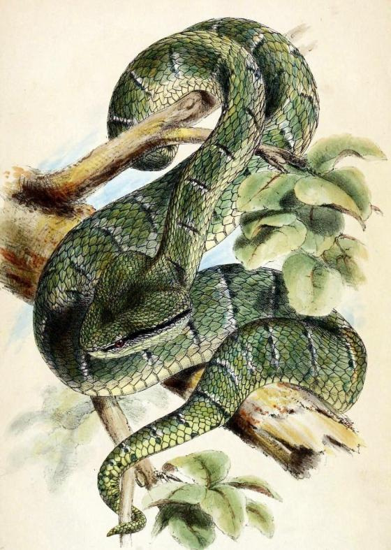 snake-temple-viper-malaysia