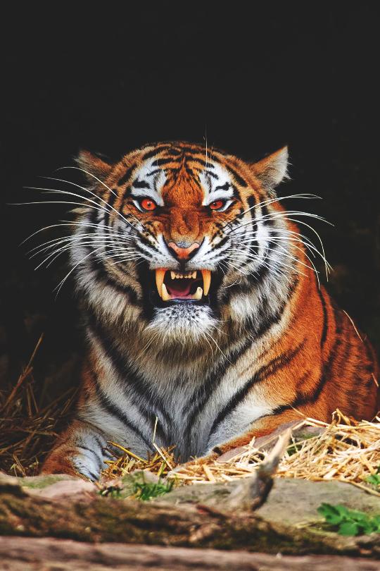 tiger-74