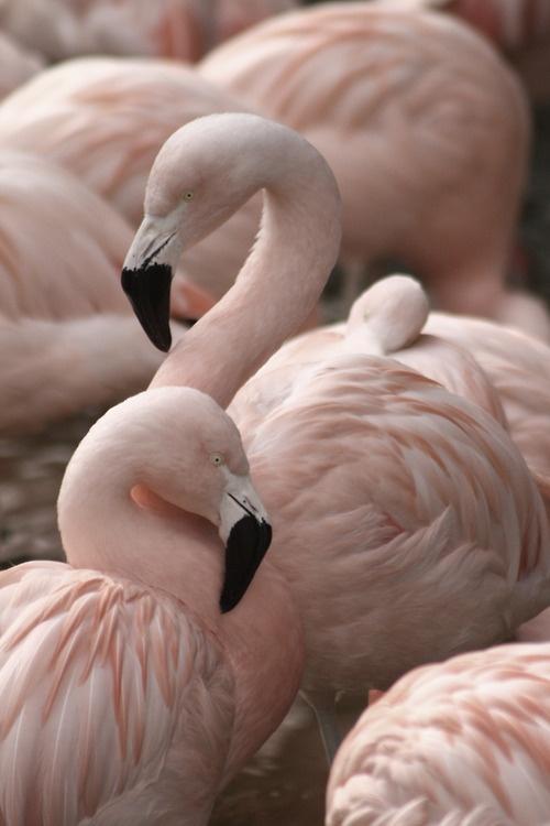 flamingo-114