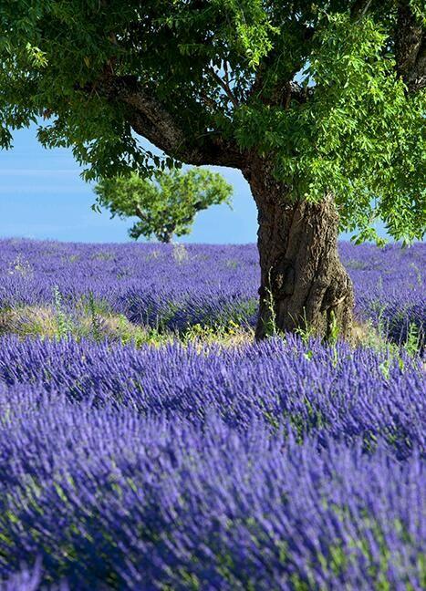 lavender-landscape-5