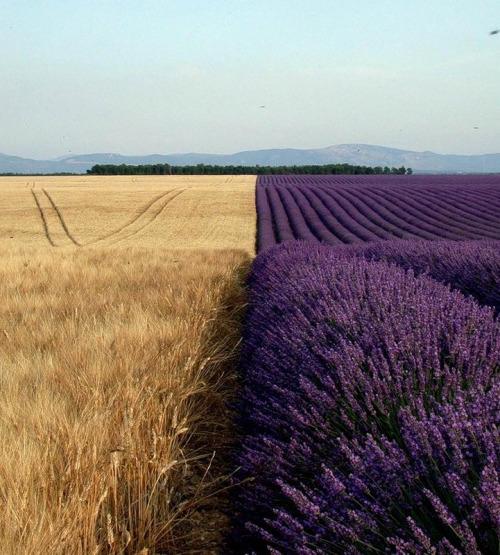 lavender-landscape-6