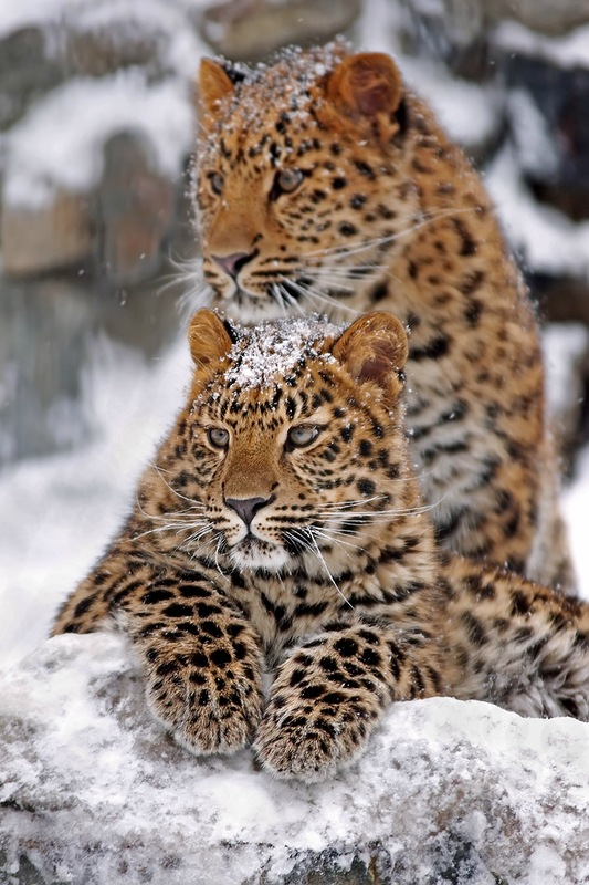 leopard-99