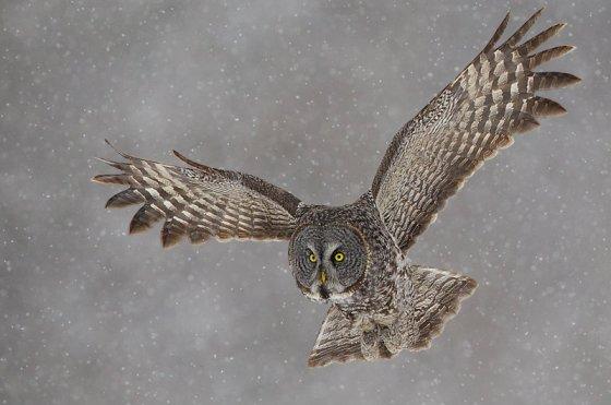owl-3241281