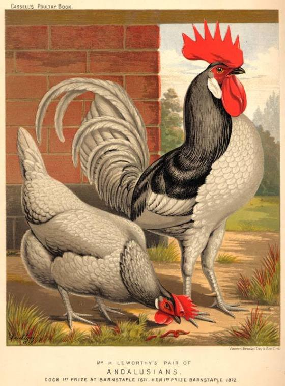 rooster-andalusia