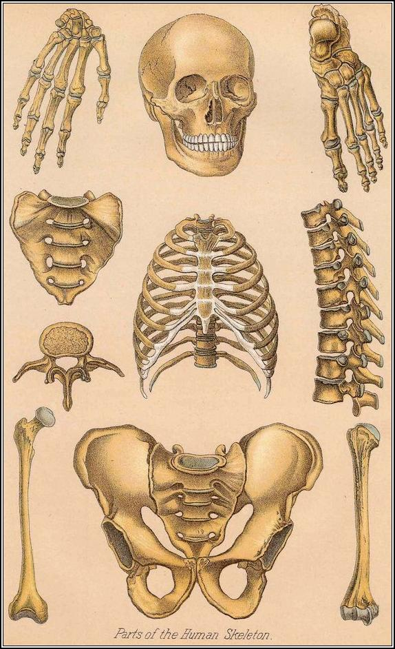 Parts of the human skeleton | Matthew\'s Island of Misfit Toys