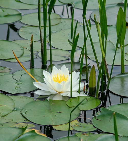 water-lilies-33