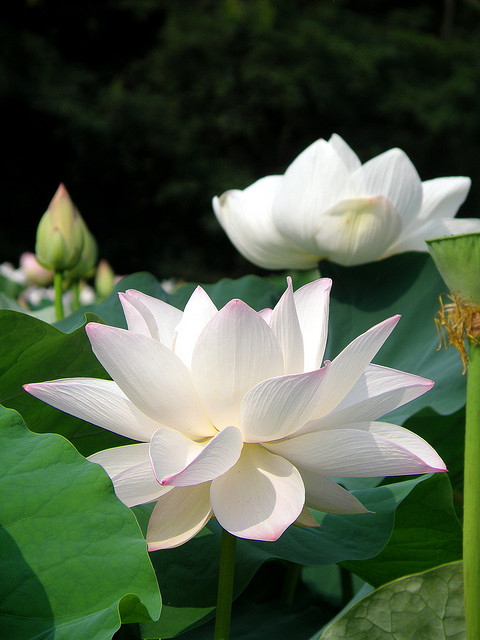 water-lily-870