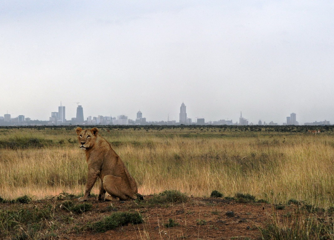 A young lion sits with Nairobi's skyline in the background at Nairobi National Park in 2015, photo by Tony Karumba