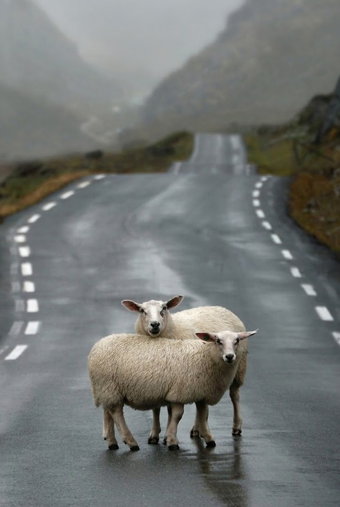 sheep-crossing