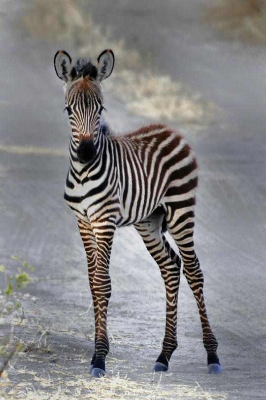 zebra-51