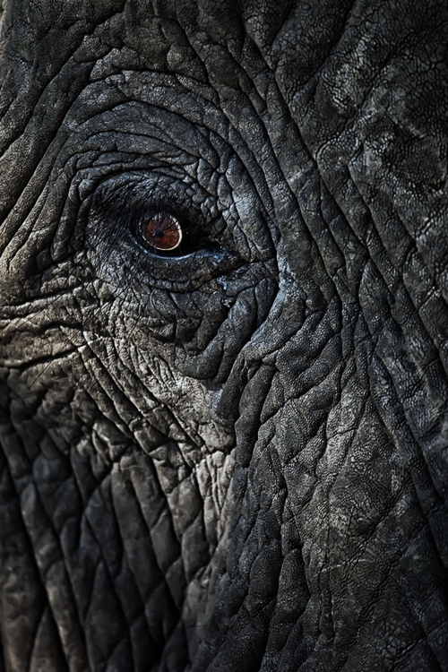 Closeup of an elephant eye