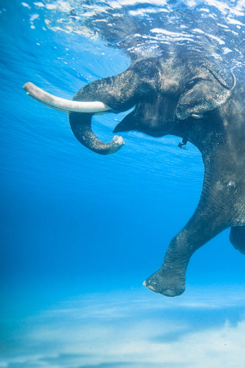 elephant-swimming-4