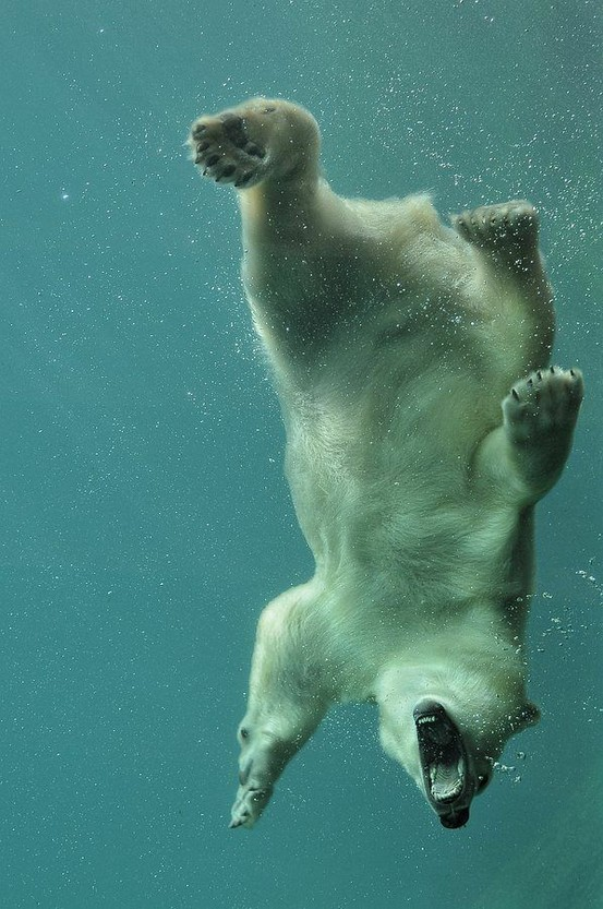 polar-bear-underwater