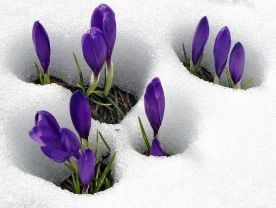 croci in the snow