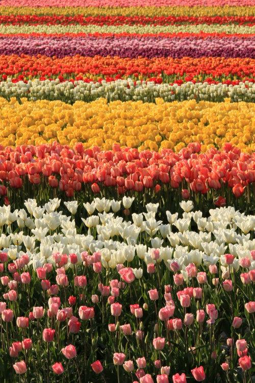 tulips-4501