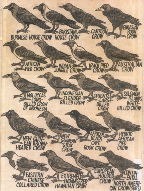 Crows of theworld