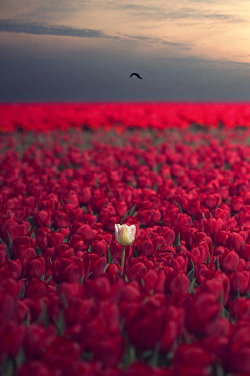 Lone pink tulip