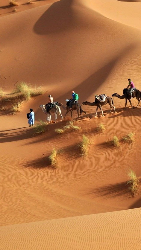 Camels in thedesert