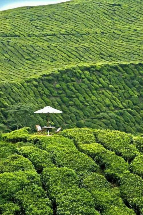 A table to sit down and have a nice cuppa at, in the middle of a tea plantation