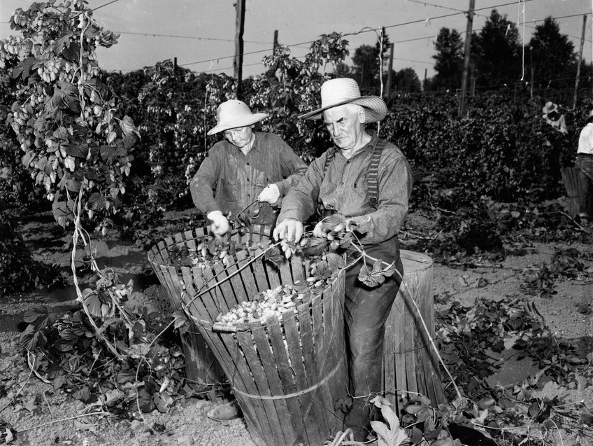 Harvesting hops in Washington state, 1930s