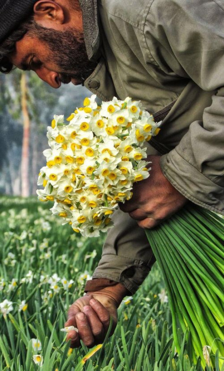 Narcissi, photo by Saeed Kouhkan